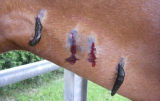pijavice lekárske - veterina