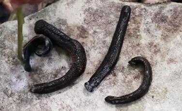 Pijavice pečené na horúcom kameni 1