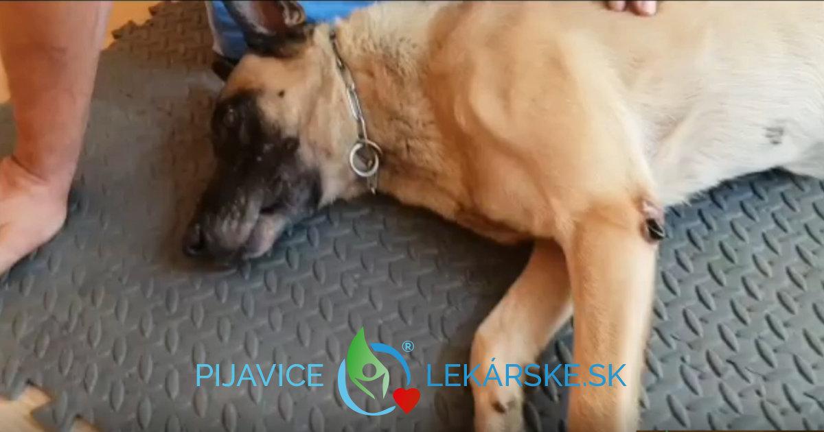 Aj kombinácia Hirudoterapia, teda pijavice lekárske a pes ide dokopy.